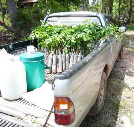 der pick up bringt gummibaumsetzlinge
