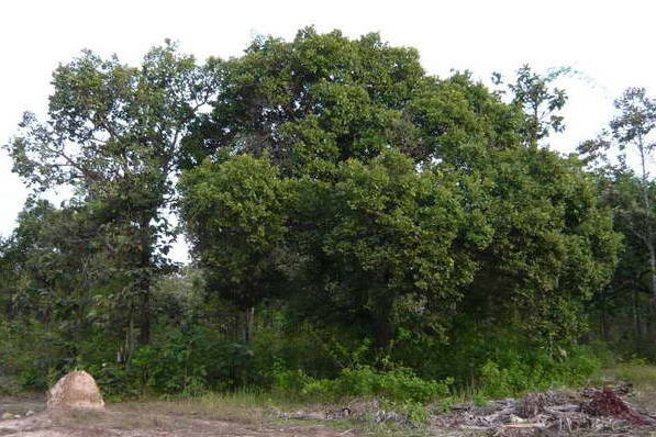 mein Baum stirbt